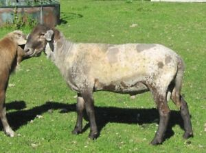 50% Katahdin Yearling Ram (also package deal with 3 ewes)
