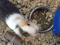 Guinea pig for sale- everything included