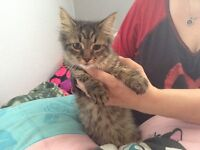 3 and a half month old kitten free to a good home