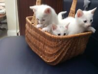 Adorable kittens Siamese X BSH (Ready Now)