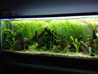 Live Aquarium Plant - Jungle Vallisneria