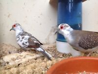 Diamond doves ( cage birds )