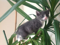 A gorgeous 7weeks tuxedo grey and white male kitten