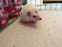 7 month old hedgehog