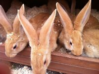 Yellow Continental Giant Rabbit