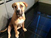 Boxer/bull mastiff puppy for a forever home