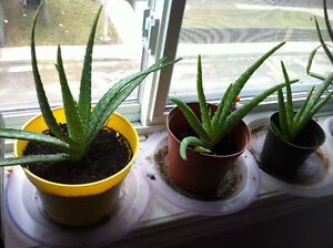Aloe Verra plants for your home