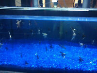 small angel fish for sale