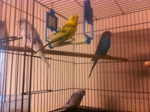 Budgie Pairs and single Male/Female