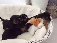5 Adorable Yorkshire Terrier Puppies