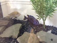 african cichlid and catfish