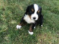 Bernese Mountain/Golden Retriever