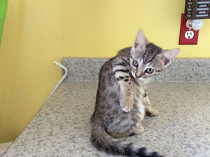 Chat/ chatons Bengal Brown, Silver spotted  Pure Race