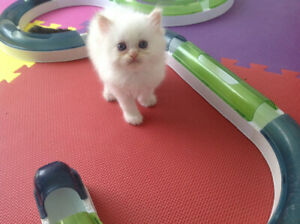 Only 1 affectunate pure breed cream point Himalayan kitten left