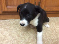 Collie Mix Puppies ready to be rehomed ASAP!