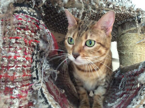 Belle chatte Bengal Brown-Red (rousse),  Pure Race / Livraison