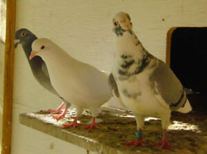 Roller, homer and Iranian High Flyer pigeons, many pure white