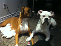 6  BOXER PUPPIES/ CHIOT