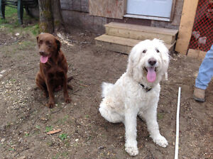 Chocolate lab and golden doodle puppies