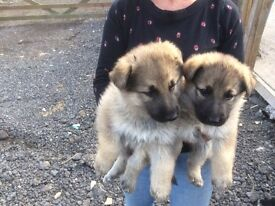 German Shepherd puppies 2 chunky black & tan 5 sable midlands area evesham was 10 now 3 left