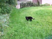 Felix male black cat age 6