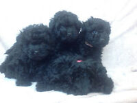 Puli puppies for sale
