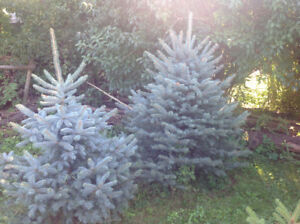 Blue Spruce trees for sale 2-5 ft,