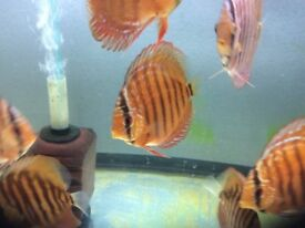 "Discus fish (Super red curipeua 3-4"")"