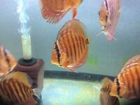 """Discus fish (Super red curipeua 3-4"""")"""