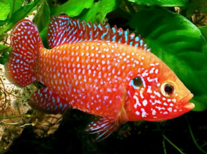 Jewelled Cichlid Junveniles - 50 cents