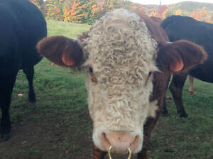 Pure Bred Hereford Bull for sale