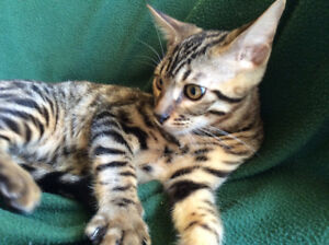 Brown  Charcoal Bengal Kitten Pure Breed /  Guaranty,  Delivery