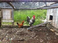 One rooster and one hen