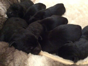 CKC Registered Labrador Retriever puppies