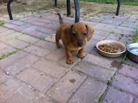 REDUCED PRICE $$ Mini Dachshund puppies