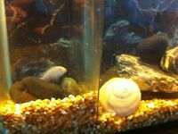 10 gallon tank with three cichlid fish