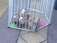 British bulldog triple carriers