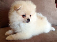 purebred pomeranian puppy  and purebred maltese female
