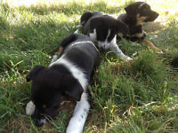 Kelpie Pups from strong working parents - 2 left