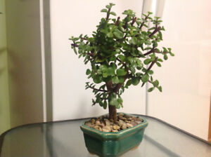 Jade bonsai plant