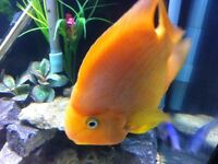 American cichlids Red Parrot  Gold Severum Green Severum