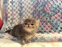 Purebred Exotic Persian kittens