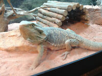 Bearded Dragon Approx. 8 months old