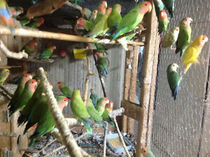 LOVEBIRDS FOR SALE NEW BABIES READY TO HAND FEED Sarnia Sarnia Area image 5