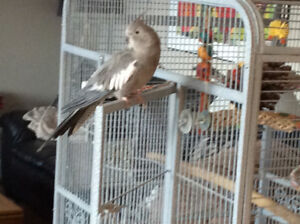 Cockatiel & and large fully equipped cage for sale