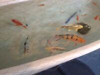 Large Koi Pond Fish and accessories