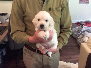 Golden Retriever Puppies (English Cream)