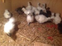 Silkie chickens for sale (hens and roosters)