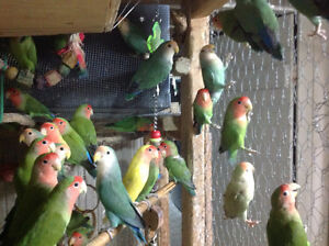 LOVEBIRDS FOR SALE NEW BABIES READY TO HAND FEED Sarnia Sarnia Area image 6