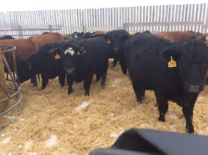 15 Bred Heifers for Sale